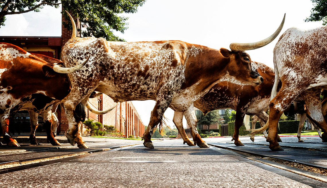 A group of Texas longhorn cattle crossing a road in Fort Worth