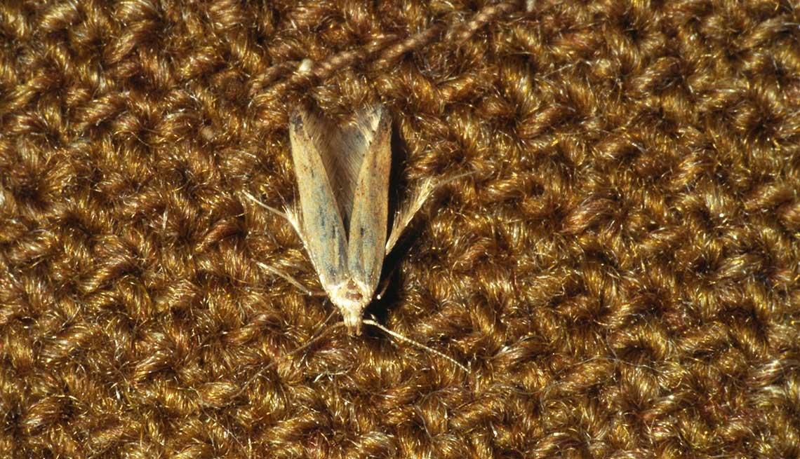 Tácticas para deshacerse de los insectos - Polilla