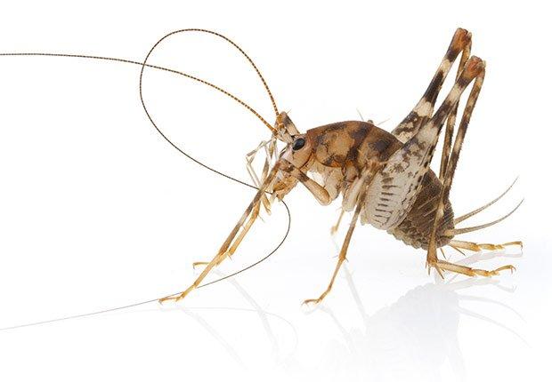 Tácticas para deshacerse de los insectos - Grillo camello
