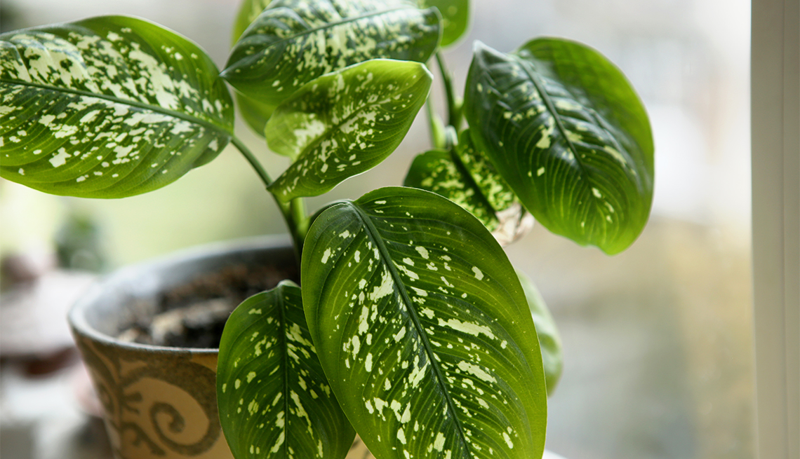 10 Best Indoor Plants that Require Low Maintenance Houseplant Ffenbachia Low Light on low light health, low light palms, low light flowers outdoors, low light shrubs, low light bromeliads, low maintenance shade plants, low light orchids, low palm bushes, low light trees, low light plants, low maintenance indoor plants, low light landscaping, low light weeds, low light succulents, low light tropicals, low light roses, low light bonsai, low light garden, low light vines, low light cactus,