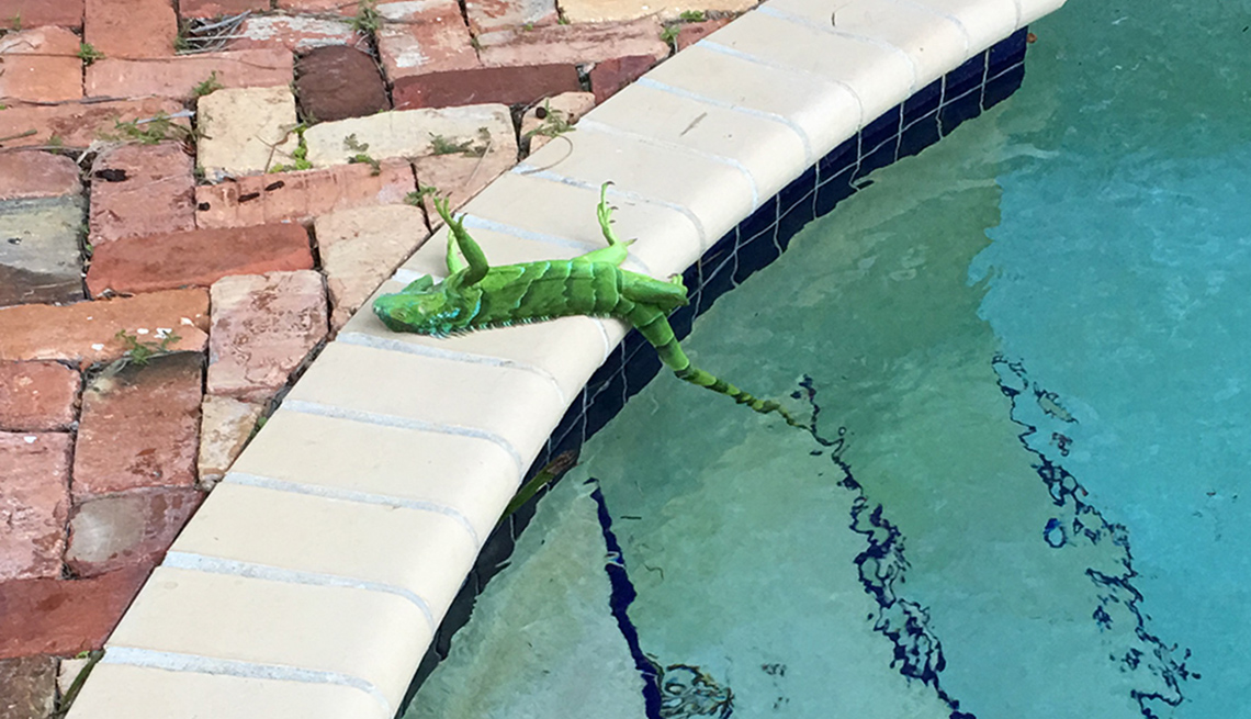 Iguana laying by pool after falling from tree in Florida