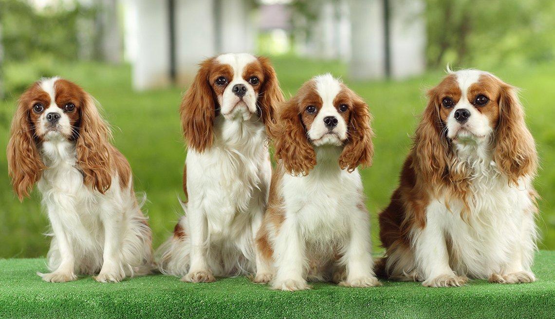 4 perros raza cavalier king charles spaniel