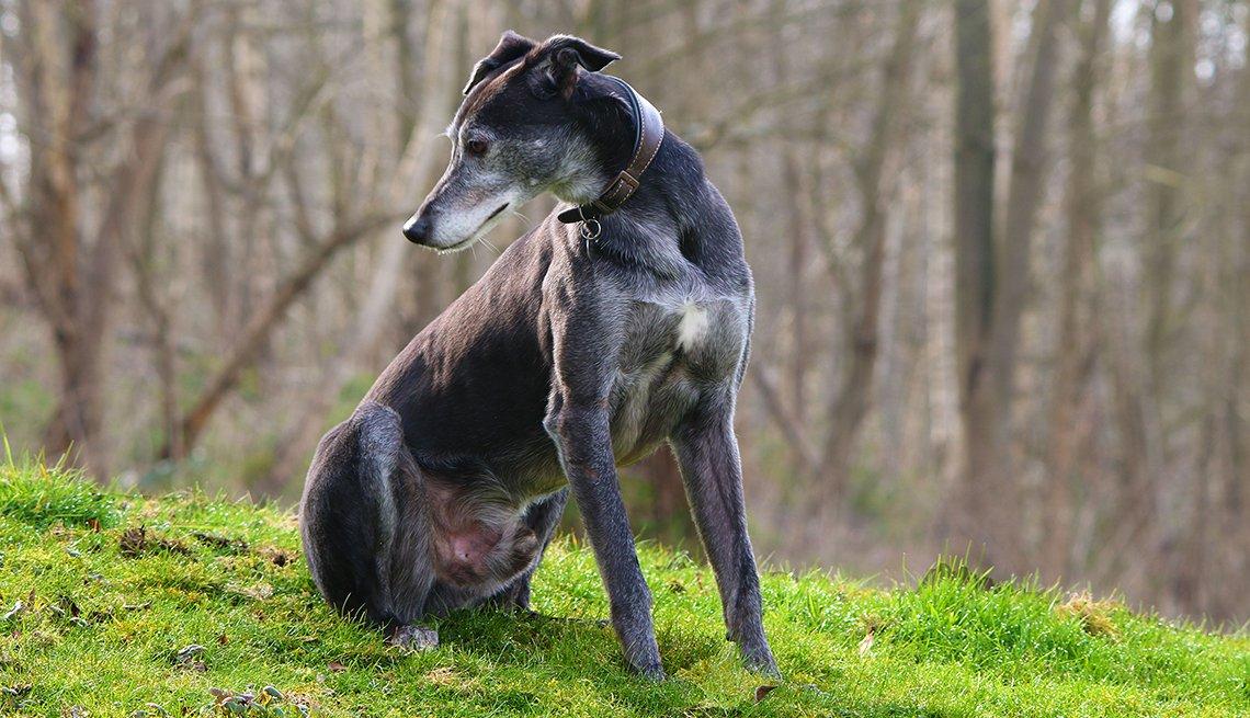 Greyhound dog