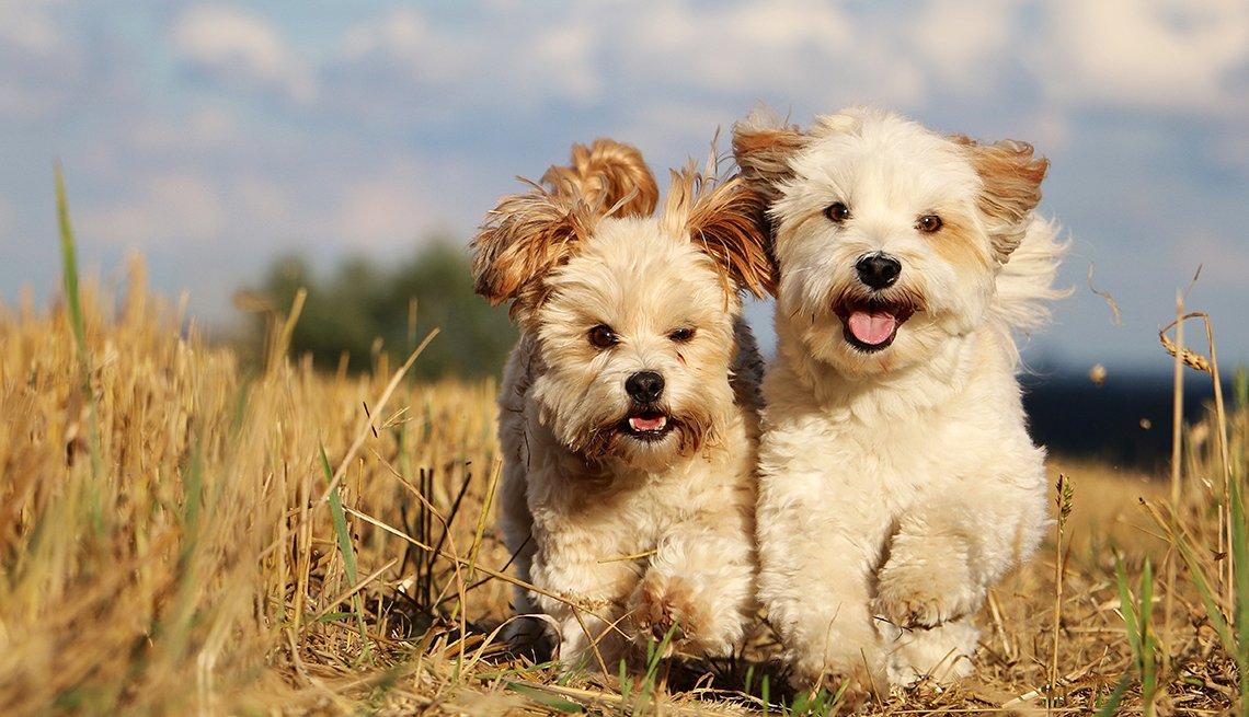 Dos perros raza bichón habanero