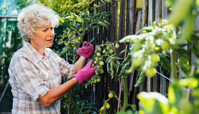 woman pruning unripe yellow pear tomato plants growing along fence in backyard vegetable garden