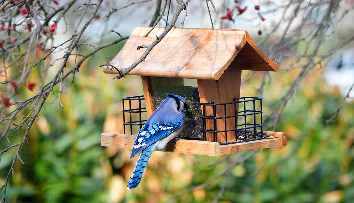 A Blue jay eats from bird feeder