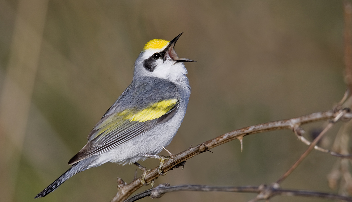 Imagen de un pájaro de color gris, blanco y amarillo