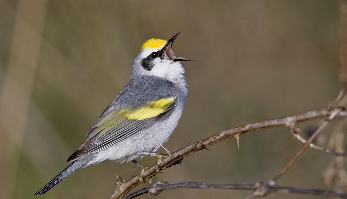Brewster's warbler singing