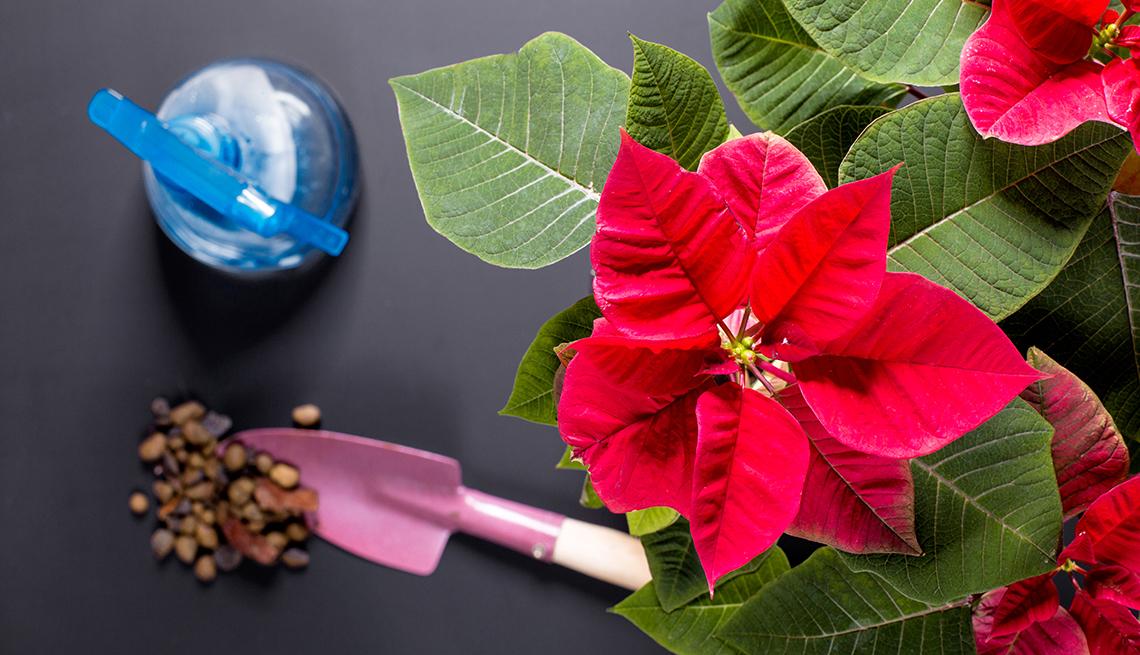 En la imagen hay una flor estrella navideña o poinsettia y una pala para el cuidado de plantas de interior