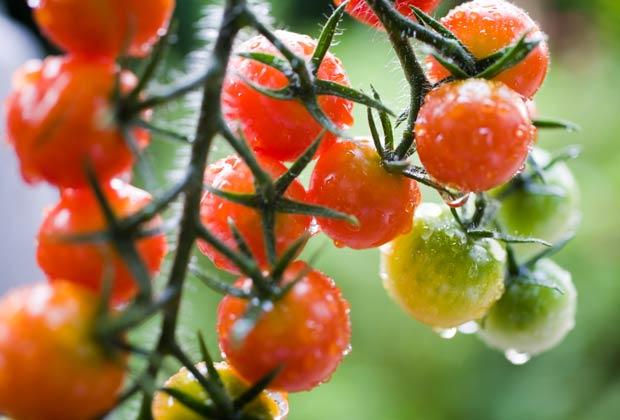 Tomates cherry, 10 Hierbas y verduras más fáciles de plantar en su jardín