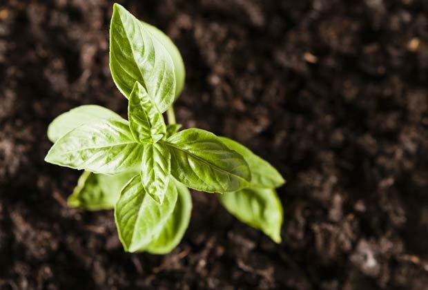 Albahaca, 10 Hierbas y verduras más fáciles de plantar en su jardín
