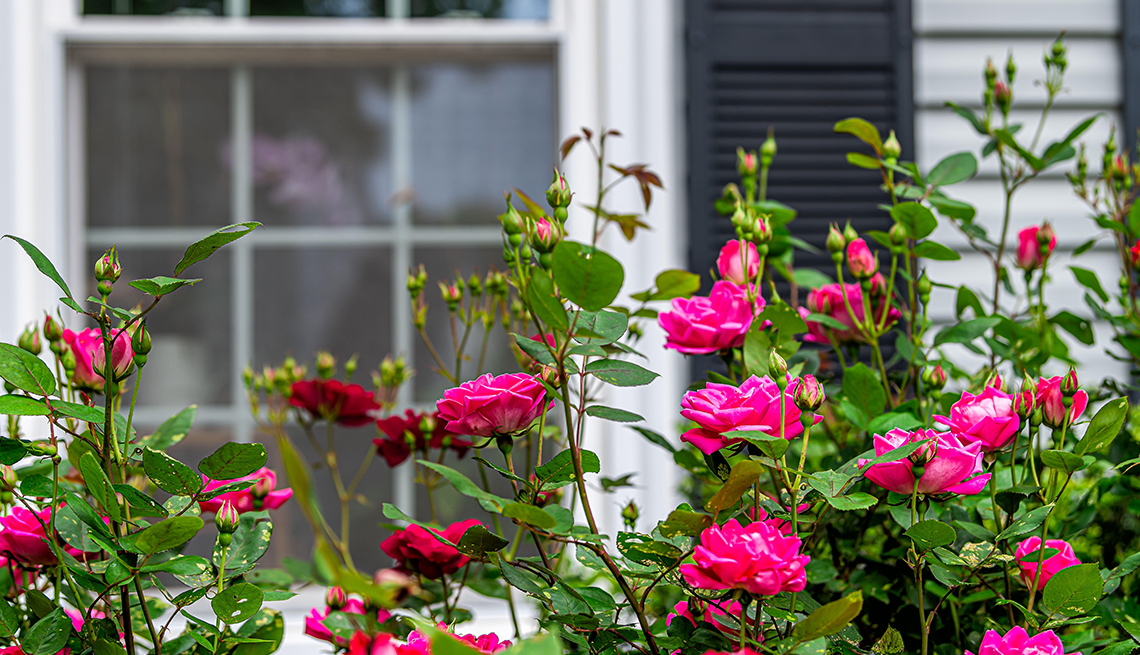 pink rose bush in front of house window with black shutter