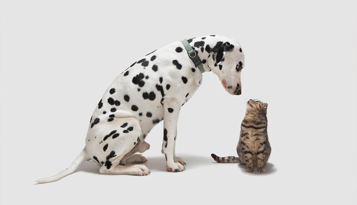 dalmation dog looking down at grey tabby cat looking up at him