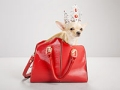 Chihuahua inside red handbag. How to manage costs of owning a pet. (Jasper White/Getty Images)