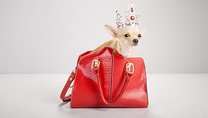 Chihuahua dentro del bolso rojo. Cómo administrar los costos de tener una mascota.