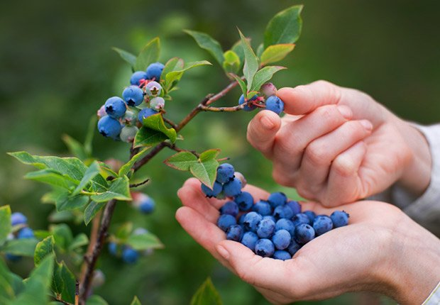 Grow Blueberries in your backyard, Money Report: What to do with $200