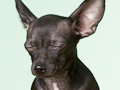 Ways to save on pet expenses - Black chihuahua 42-20732273,x-default