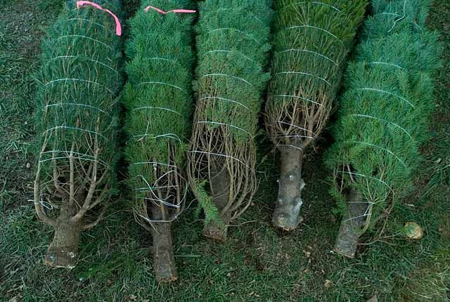 Christmas trees ready to buy early, frugal holiday season