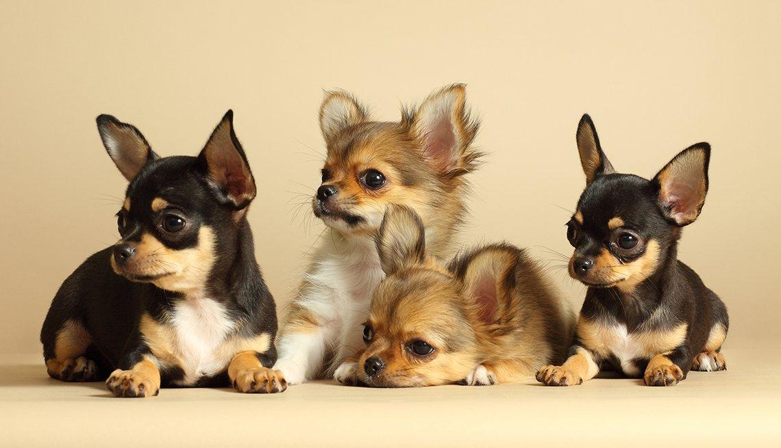 Cuatro carrochos de la raza chihuahua