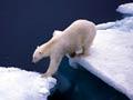 Oso polar cruzando el mar en dos glaciares, 10 los efectos del cambio climático