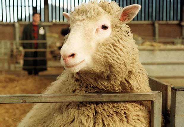 Dolly, la oveja clonada genéticamente