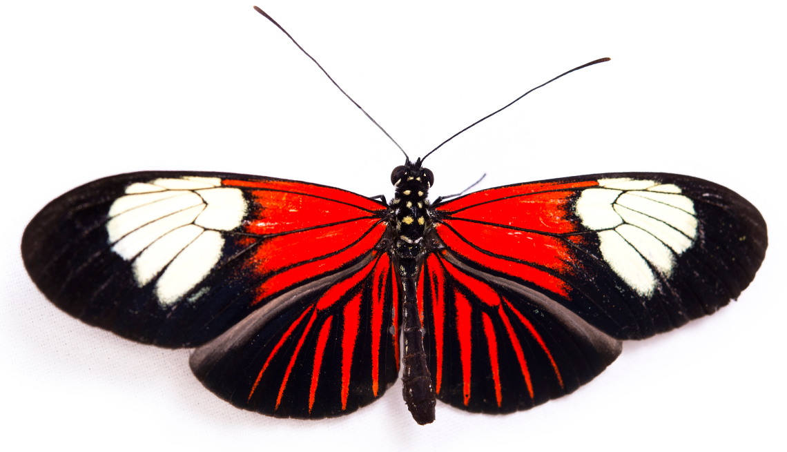 item 8 of Gallery image - Red postman butterfly, Heliconius erato lativitta, at the Saint Louis Zoo.