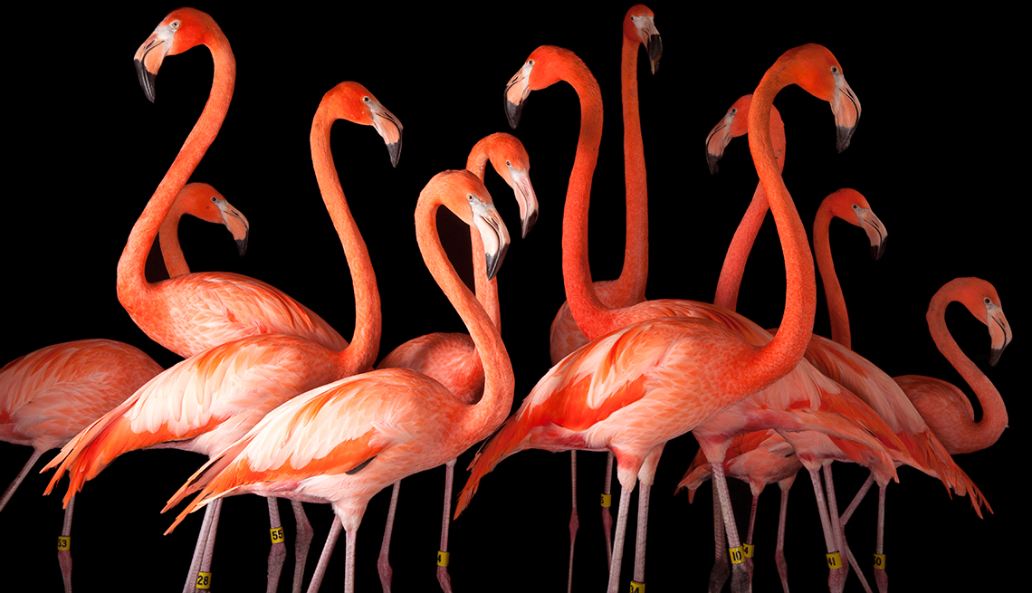 item 5 of Gallery image - A group of American flamigos, Phoenicopterus ruber. Omaha Zoo