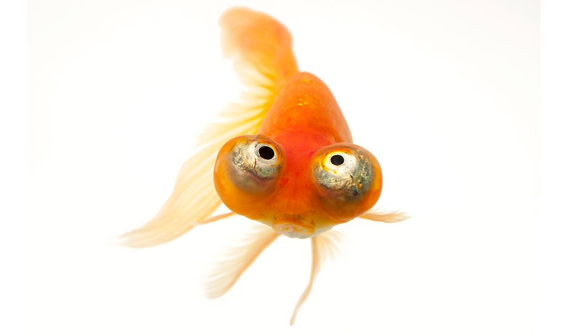 item 2 of Gallery image - A red celestial eye goldfish, Carassius auratus auratus, at Ocean Park, Hong Kong.