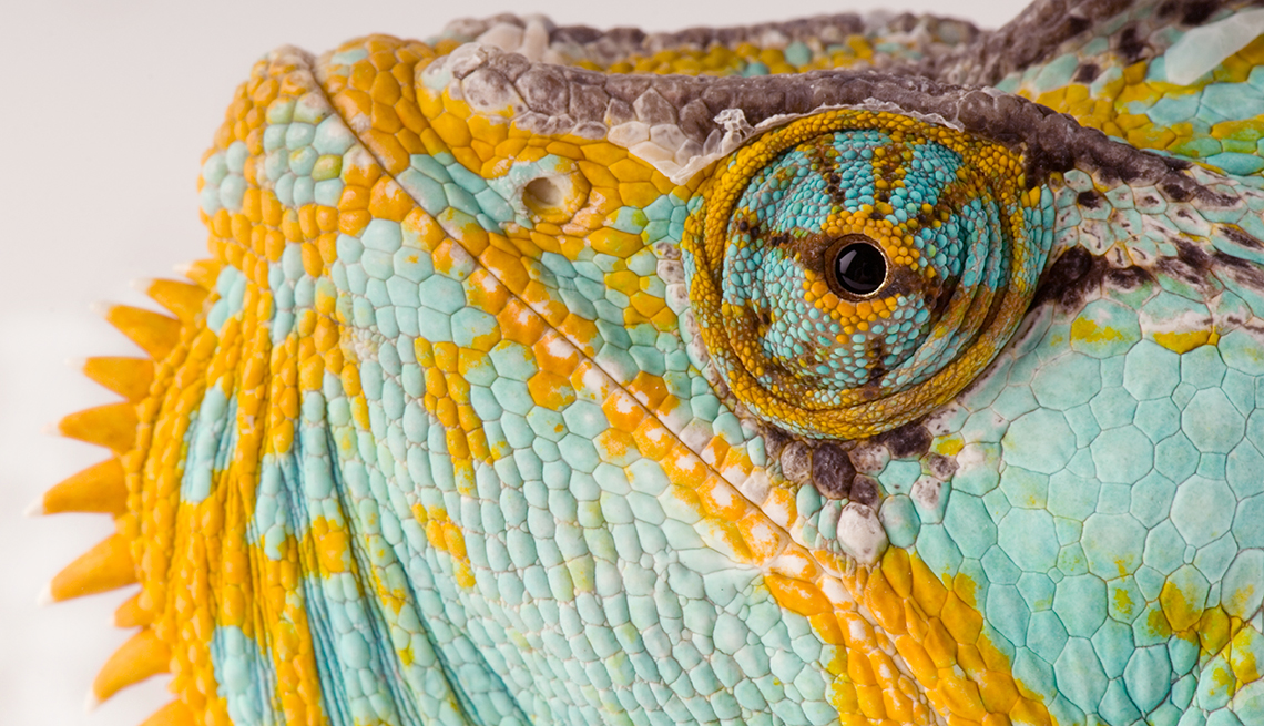 item 4 of Gallery image - The eye and face of a veiled chameleon, Chamaeleo calyptratus, at Rolling Hills Wildlife Adventure, Kansas.
