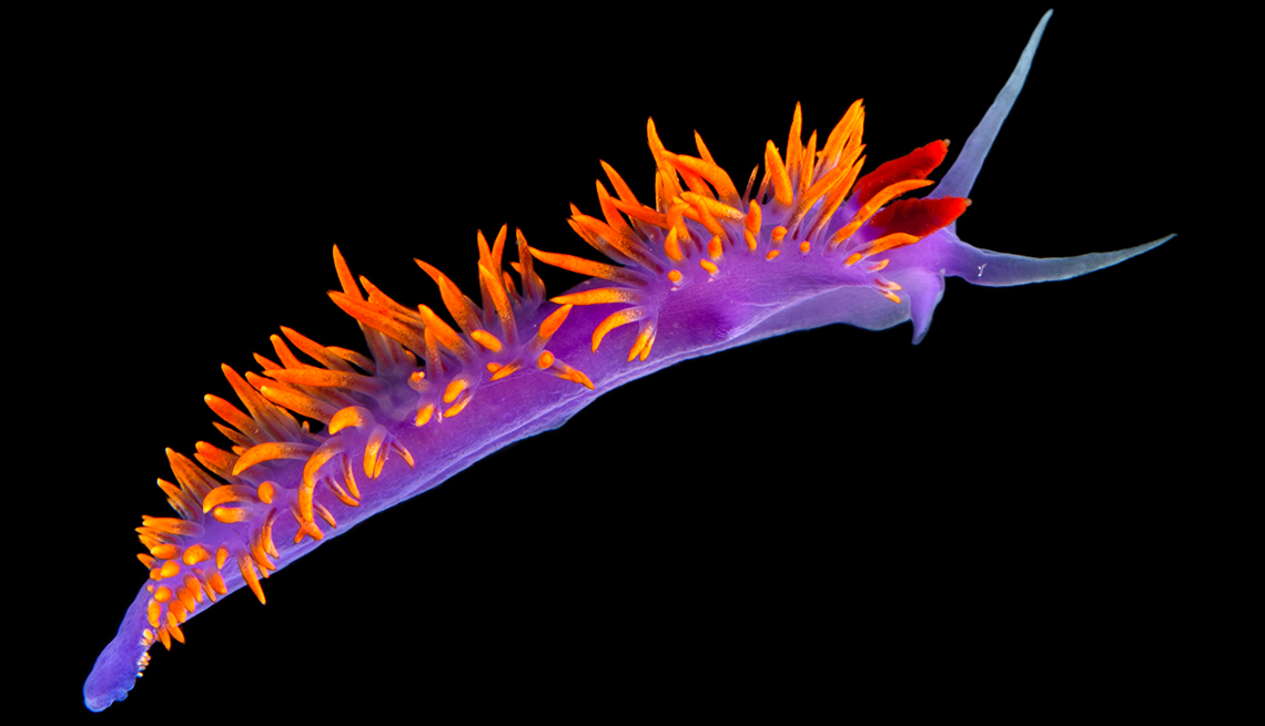 item 9 of Gallery image - A Spanish shawl nudibranch, Flabellina iodinea, at the Research Experience and Education Facility, at the University of California, Santa Barbara..