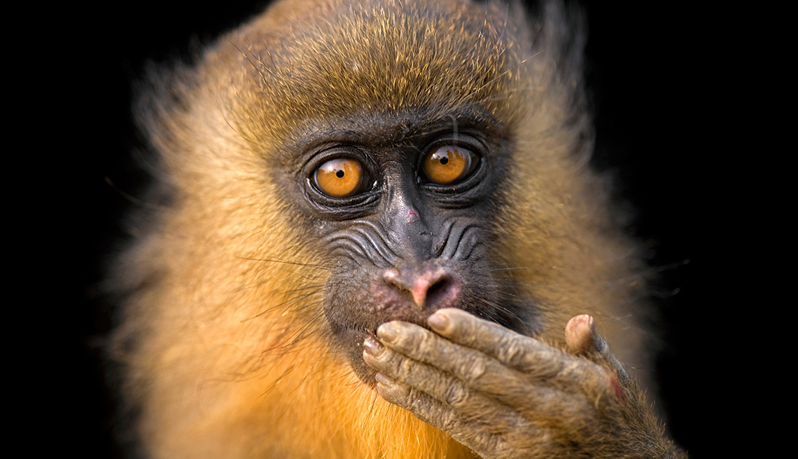 item 3 of Gallery image - A portrait of a captive juvenile mandrill, Mandrillus sphinx.   National Geographic Photo Ark