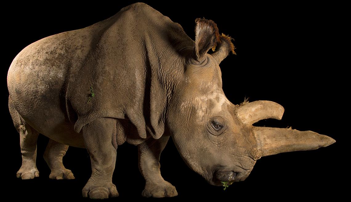 item 10 of Gallery image - A female Northern white rhinoceros, Ceratotherium simum cottoni, at the Dvur Kralove Zoo. Czech Republic.
