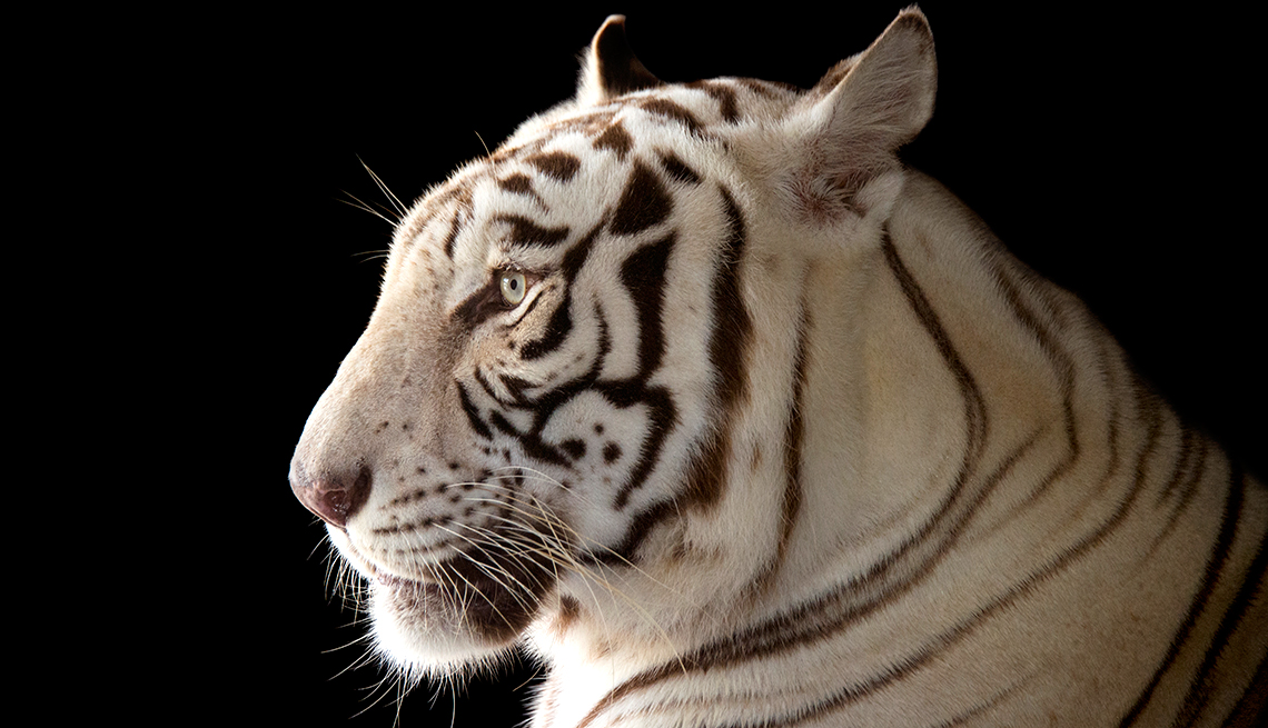 item 7 of Gallery image - A rare and majestic male white Bengal tiger, Panthera tigris tigris, at Alabama Gulf Coast Zoo.