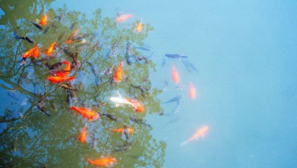 Goldfish swim in a pond representing belief in miracles
