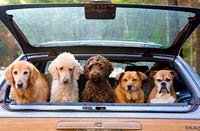 Group of dogs hanging out in trunk of station wagon