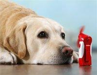 Labrador Retriever - lying in front of a small fan