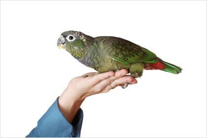 Green Pionus Parrot