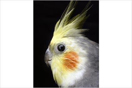 Australian Cockatiel