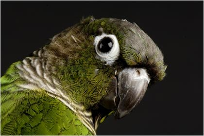 Green-cheeked Conure