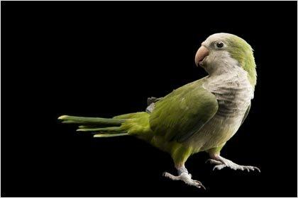 Quaker Parrot