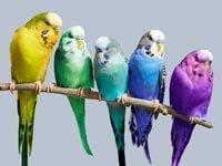 Pájaros como mascotas