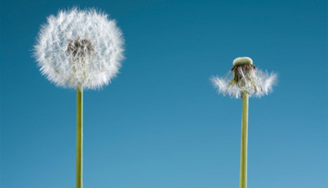 Dos flores de diente de león. Una con semilla y la otra con pocas.