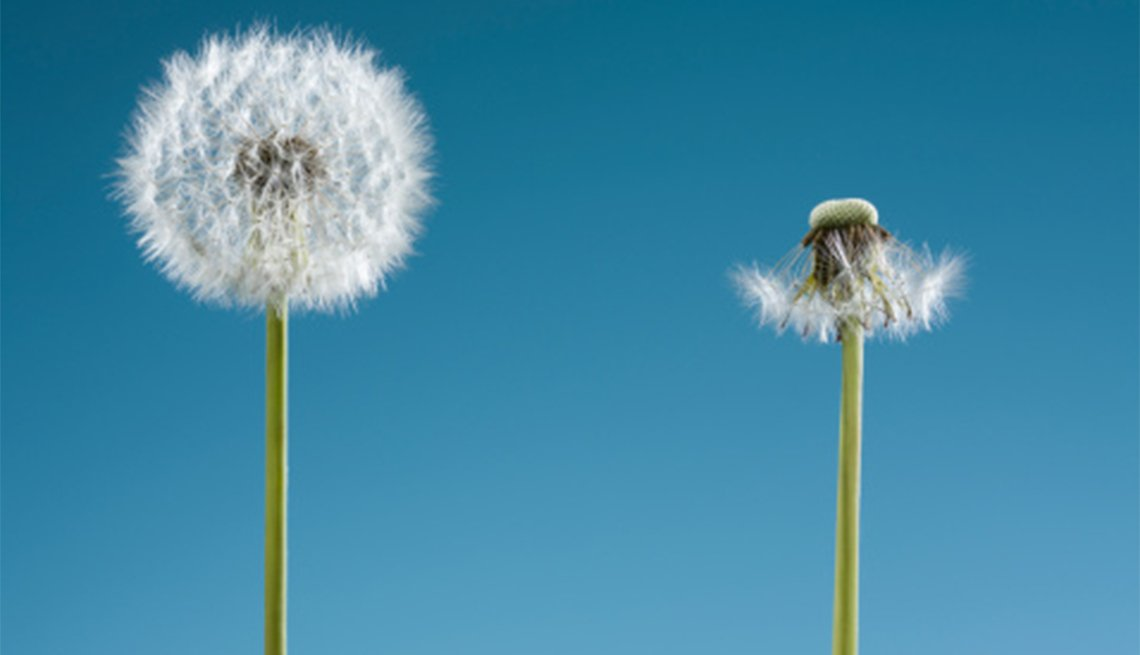 Dandelion with seeds and dandelion without