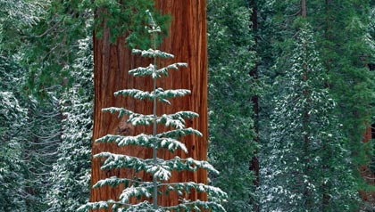 General Grant Tree, situado en Kings Canyon National Park, es el segundo árbol más grande del mundo.