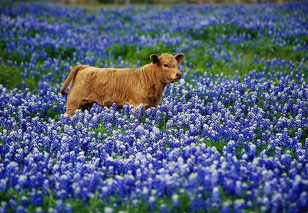 Calf stands among bluebonnets, Texas Hill Country