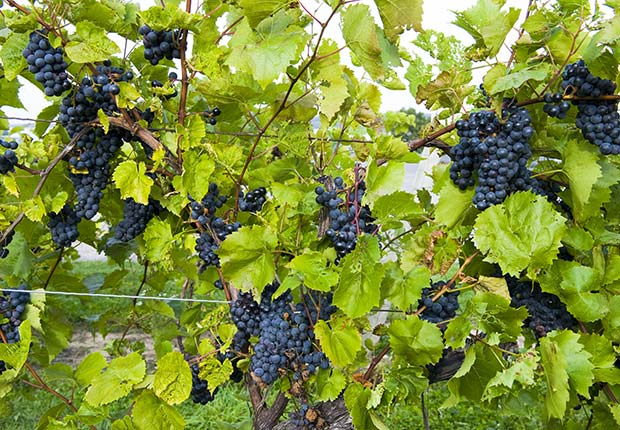 Grapes on vines, Finger Lakes Region, New York