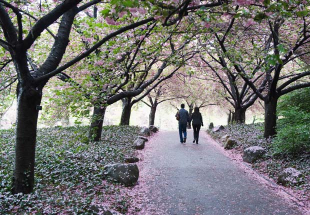 A couple walks among cherry blossoms at the Brooklyn Botanical Garden, Brooklyn, New York