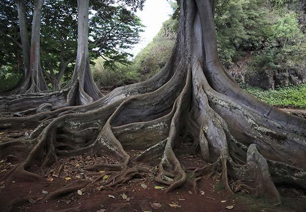 Las raíces del árbol en Allerton Gardens, Hawaii - 10 Hermosos jardines en América