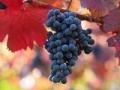 Las uvas negras en un viñedo - Visite estos viñedos fuera de California