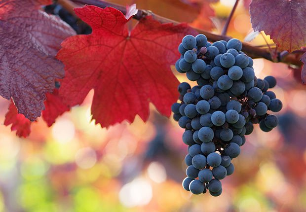 Black grapes with colorful leaves in a vineyard.